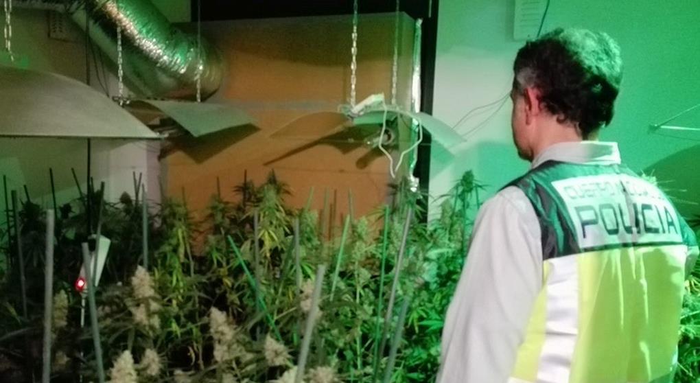 Detenido con cuatrocientas plantas de marihuana en Santillana del Mar